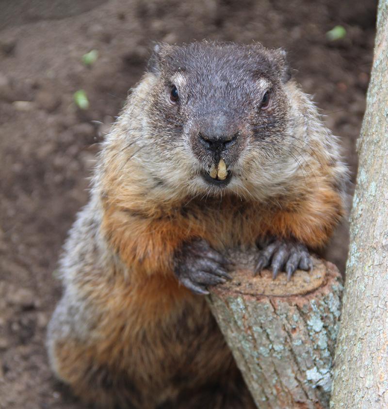 Ms. G MA State Groundhog